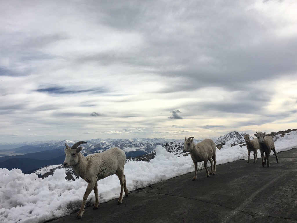 Mt. Evans sheep